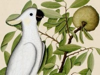 Detail of Sulphur-crested cockatoo (Cacatua galerita) on a custard apple branch (Annona reticulata),