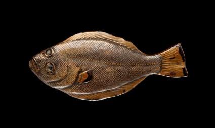 Figure of a flatfishfront