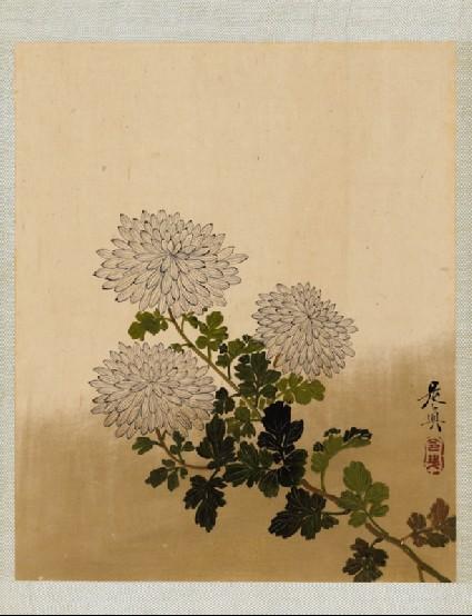 Chrysanthemumsfront