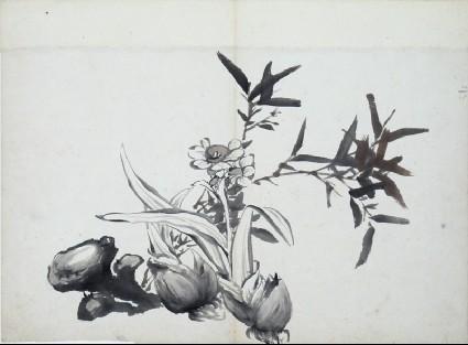 Narcissus, garlic, and fungifront