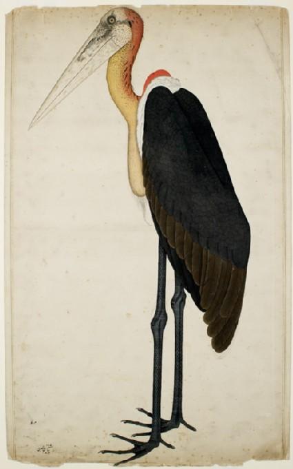 Adjutant Stork (Leptoptilos dubius)front