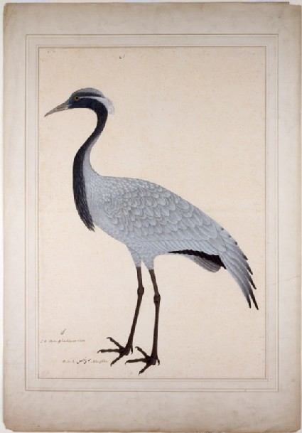 Demoiselle Crane (Anthropoides virgo)front