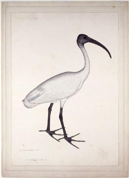 White Ibis (Threskiornis melanocephala)front