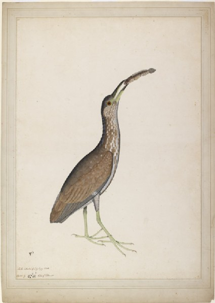 Immature Night Heron (Nycticorax nycticorax)front