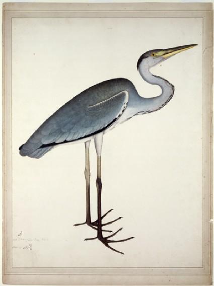 Grey Heron (Ardea cinerea)front