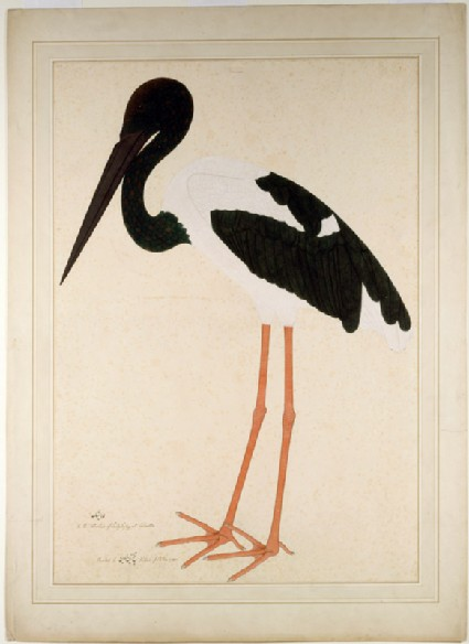 Black-necked Stork (Xenorhynchus asiaticus)front